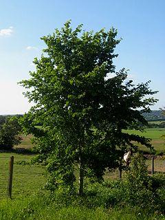 <i>Ulmus</i> Plinio Elm cultivar