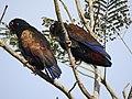 Bronze Winged Parrot.jpg
