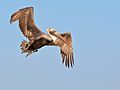 Brown Pelican over Mission Bay in San Francisco.jpg