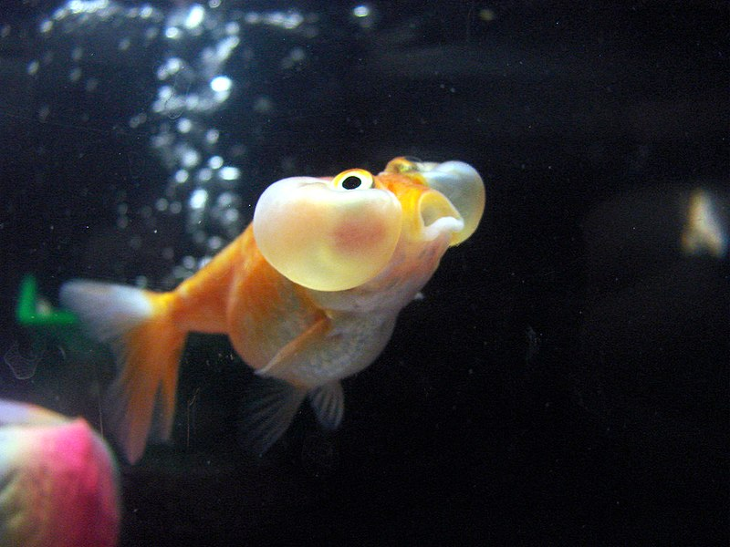 http://upload.wikimedia.org/wikipedia/commons/thumb/a/ab/Bubble_Eye_goldfish.jpg/800px-Bubble_Eye_goldfish.jpg