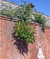 Buddleia on the Malting - geograph.org.uk - 545841.jpg