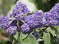 Buddleia salviifolia (7267667656).jpg