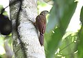 Buff-throated Woodcreeper (Xiphorhynchus guttatus) (9499715868).jpg