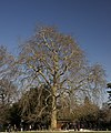 Buffon's plane tree winter MNHN.jpg