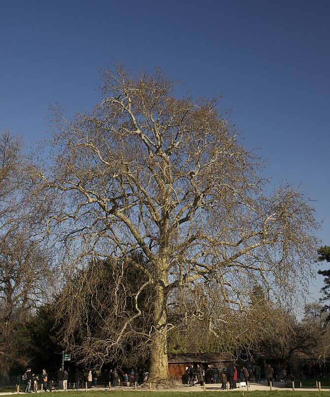 English: Historical Buffon's plane tree (Plata...