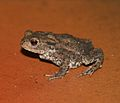 Bufo bufo (Common European Toad).jpg
