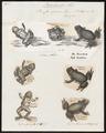 Bufo igneus - 1700-1880 - Print - Iconographia Zoologica - Special Collections University of Amsterdam - UBA01 IZ11500253.tif