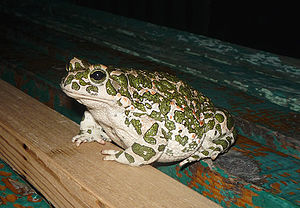 Bufo viridis English: The European green toad ...