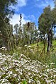 Bunga daisy di kawasan cemoro kandang, gunung semeru.jpg