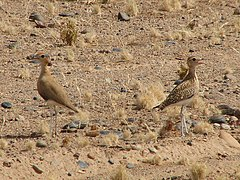 Burchell's Courser.jpg