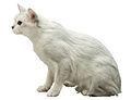 Burmilla Fond Blanc.jpg
