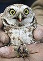 Burrowing Owl 10 myatt odfw (7591223746).jpg