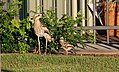 Bush Thick-Knee (Burhinus grallarius) (31228622431).jpg