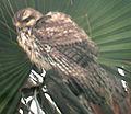 Buteo plagiatus Carpinteria California 1.jpg