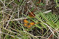 Butterflies in the Port Hills 220.JPG