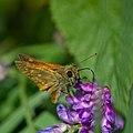 Butterfly (35300067804).jpg