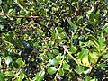 Buxus microphylla japonica 1zz.jpg