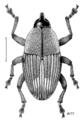 COLE Curculionidae Linogeraeus urbanus 1.png