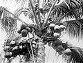 COLLECTIE TROPENMUSEUM Een kokospalm met vruchten TMnr 10012454.jpg
