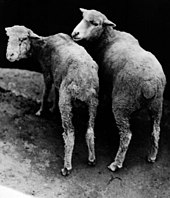 two cobalt-deficient sheep facing away from camera