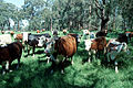 CSIRO ScienceImage 2750 Herd of Cattle.jpg