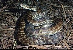 CSIRO ScienceImage 3883 Stimsons Python.jpg