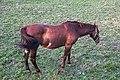 Caballos - Cabalos - Bertamirans - Ames - 001.jpg