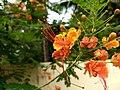 Caesalpinia pulcherrima, Pride of Barbados, Settimandaram.jpeg