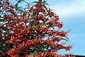 Caesalpinia pulcherrima (11033638826).jpg