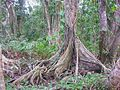 Cahuita tree 1.jpg
