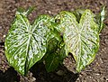 Caladium 'White Cap' Leaves.JPG