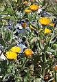 Calendula arvensis RF.jpg