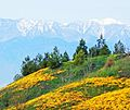 California Wild Flowers and Snow 3-4-16 (32747534154).jpg