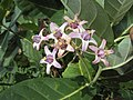 Calotropis gigantea - Crown Flower at Peravoor 2014 (10).jpg