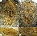 Cambropallas telesto Morocco (Jbel Ougnate) Early Cambrian.jpg