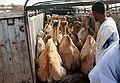 Camel truck.jpg