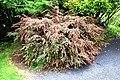 Camellia lutchuensis var. minutiflora in Auckland Botanic Gardens 02.jpg