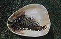 Cameo shell, Cassis madagasearienis (38839834952).jpg