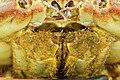 Cancer pagurus - Crabe dormeur - Tourteau - 006.jpg
