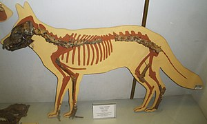 Canis arnensis - Canis arnensis reconstruction from fossilized bone fragments
