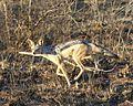 Canis mesomeles - Flickr - Lip Kee.jpg