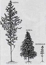 Конопля и ее виды употребление марихуаны беларуси
