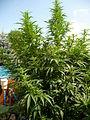 Cannabis sativa plant (14).jpg