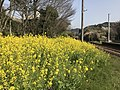 Canola flowers on platform of Onoya Station.jpg