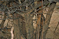 Canthium coromandelicum near Hyderabad W IMG 7611.jpg