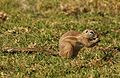 Cape ground squirrel, Xerus inauris, at Krugersdorp Game Reserve, Gauteng, South Africa (26873004354).jpg