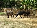 Caracas zoo buffalo.jpg