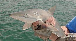 Shark Cat Long Sterndrive