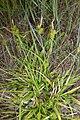 Carex demissa plant (5).jpg