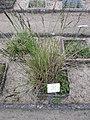Carex elata plant (01).jpg